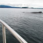 Annual Humpback Migration Icy Strait