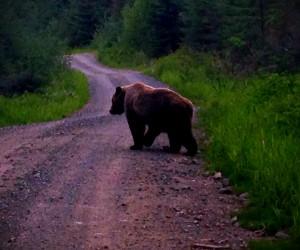 Wild Bear in Alaska